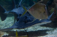 Bowmouth Guitar Fish (a shark ray)